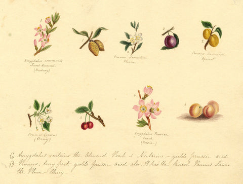 Helen Gifford, Amygdalus, Prunus Flowers and Fruit - 19th-century watercolour