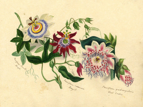 Helen Gifford, Passion Flowers - Original mid-19th-century watercolour painting