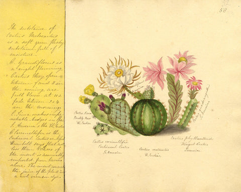 Helen Gifford, Cactus Flowers - Original mid-19th-century watercolour painting