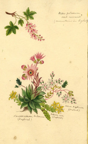 Helen Gifford, Currant, Stonecrop Flowers - Original 19th-century watercolour