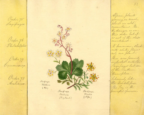 Helen Gifford, Saxifrage Flowers - Original mid-19th-century watercolour