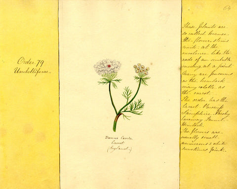 Helen Gifford, Carrot Flowers - Original mid-19th-century watercolour painting