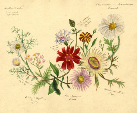 Helen Gifford, Aster, Camomile, Chrysanthemum Flowers - 19th-century watercolour