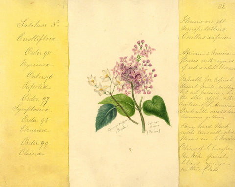 Helen Gifford, Lilac Flowers - Original mid-19th-century watercolour painting