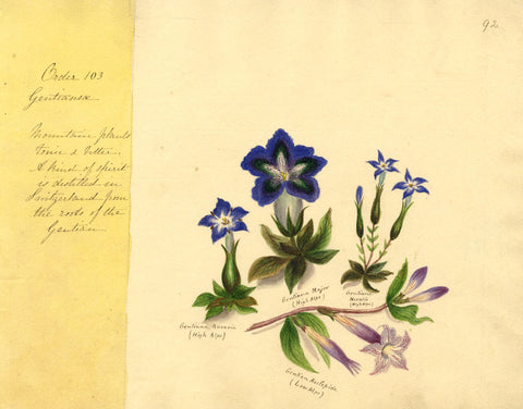 Helen Gifford, Gentian Flowers - Original mid-19th-century watercolour painting