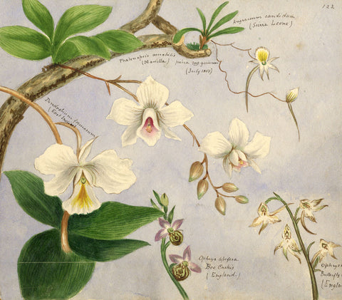 Helen Gifford, Orchid Flowers - Original mid-19th-century watercolour painting