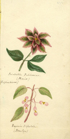 Helen Gifford, Poinsettia, Begonia Flowers - Original 19th-century watercolour
