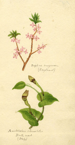 Helen Gifford, Daphne, Birth Wort Flowers - Original 19th-century watercolour