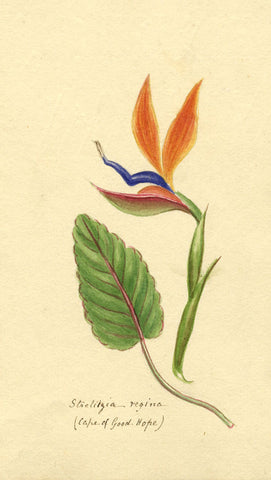 Helen Gifford, Bird of Paradise Plant - Original mid-19th-century watercolour