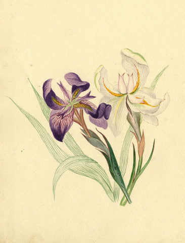 Helen Gifford, Iris Flowers - Original mid-19th-century watercolour painting