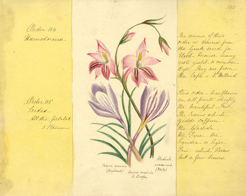 Helen Gifford, Gladiolus and Crocus Flowers - Original 19th-century watercolour
