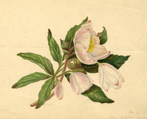 Helen Gifford, Christmas Rose Flowers - Original mid-19th-century watercolour