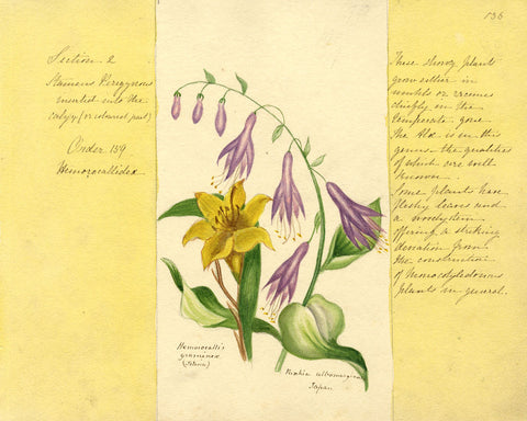 Helen Gifford, Daylily Flowers - Original mid-19th-century watercolour painting