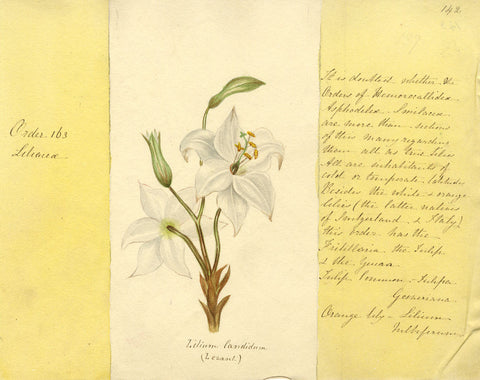 Helen Gifford, Madonna Lily Flowers - Original mid-19th-century watercolour