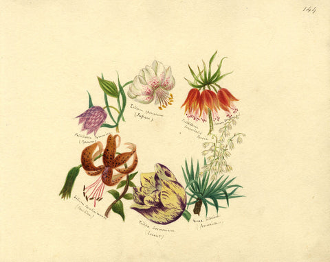 Helen Gifford, Lily, Fritillary, Tulip Flowers - 19th-century watercolour