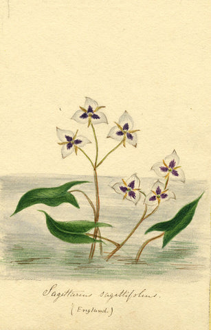 Helen Gifford, Sagittaria Flowers - Original mid-19th-century watercolour