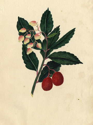 M.R., Red Arbutus Berry Branch - Original 1821 watercolour painting