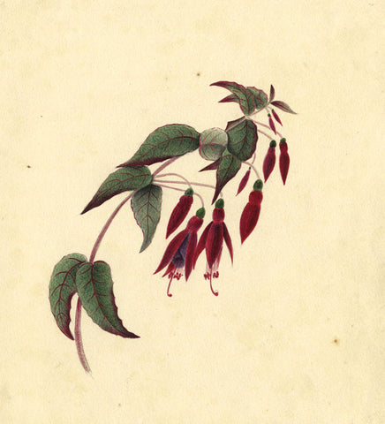 Dangling Fuchsia Flowers - Original early 19th-century watercolour painting