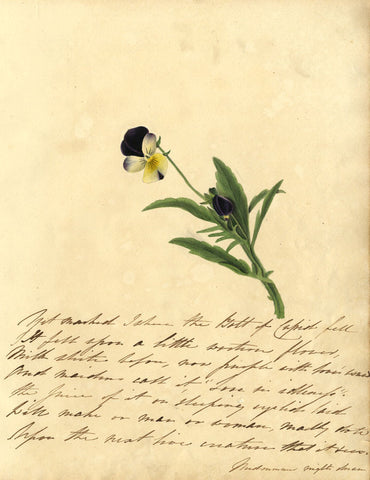Purple Pansy Flower Stem - Original early 19th-century watercolour painting