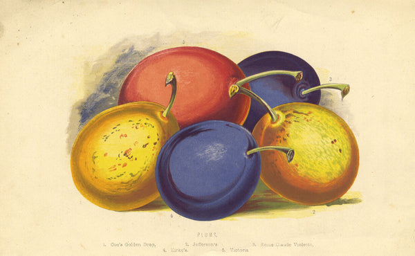 Plum Bunch in Multicolour - Original early 19th-century engraving print
