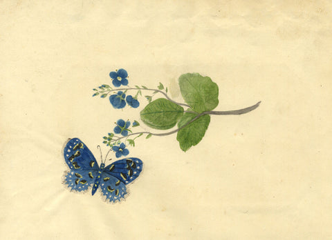 Blue Butterfly with Speedwell Flowers - Original 1813 watercolour painting