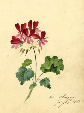 Ellen Dongan, Rose Geranium Flowers - Original 1817 watercolour painting