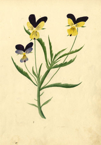Purple and Yellow Pansy Flowers - Original 1813 watercolour painting