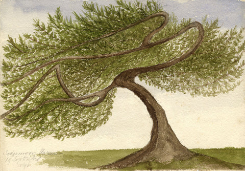 Winding Branch Tree, Sedgemoor Farm - Original 1896 watercolour painting