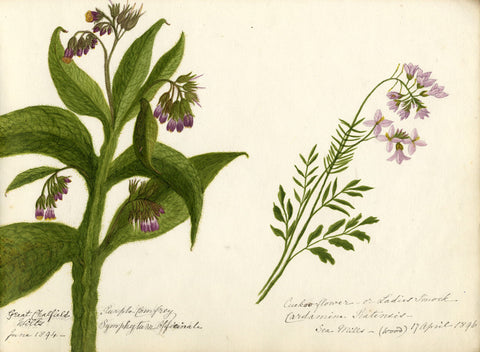 Purple Comfrey & Cuckoo Flower Studies - Original 1894 watercolour painting
