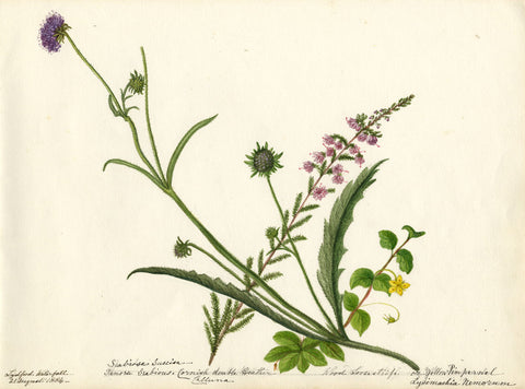 Cornish Heather & Yellow Pimpernel Flowers - Original 1884 watercolour painting