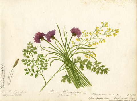 Chives with Purple Flowering Fern Sprigs - Original 1885 watercolour painting