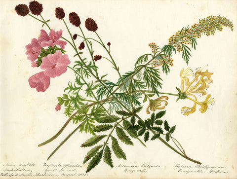 Honeysuckle, Mugwort & Musk Mallow Flowers - Original 1885 watercolour painting