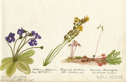 Butterwort & Round Leaved Sundew Flowers - Original 1885 watercolour painting