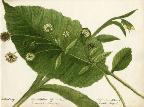 Common Comfrey Flower Study - Original late 19th-century watercolour painting