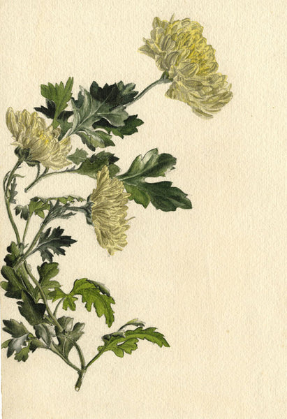 A.K. Rudd, Chrysanthemum Flowers - Late 19th-century watercolour painting