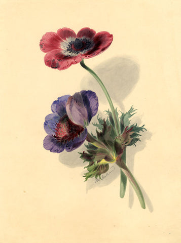 Thomas Holland, Poppy Flowers - Original early 19th-century watercolour painting