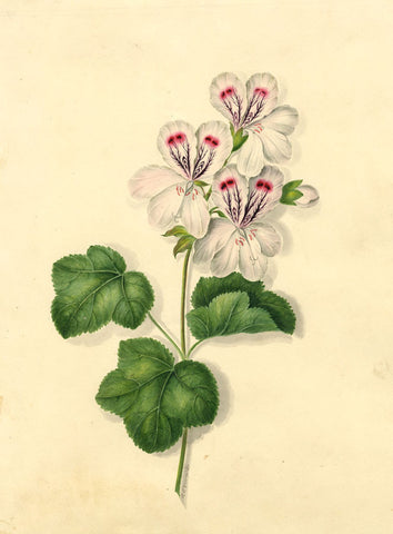 R. Edwards, White Geranium Flowers - early 19th-century watercolour painting