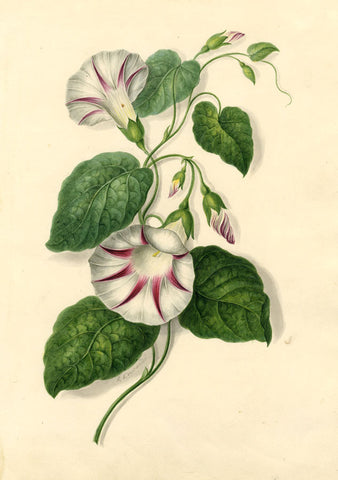 R. Edwards, Bindweed Flowers - Original early 19th-century watercolour painting
