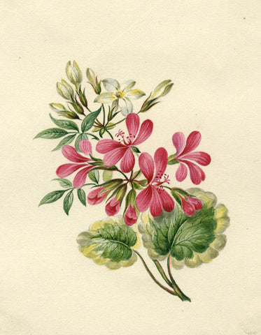 Red Geranium Flowers - Original early 19th-century watercolour painting