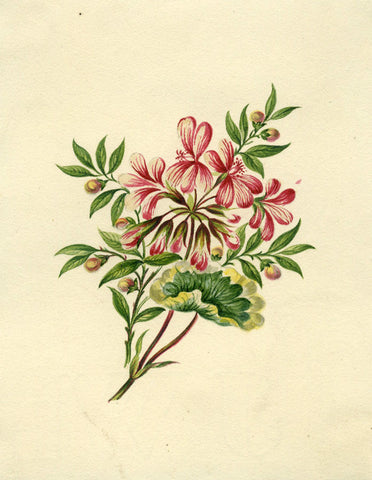 Pink Geranium Flowers - Original early 19th-century watercolour painting