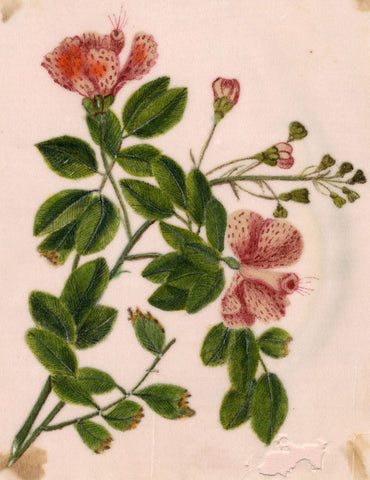 Pale Pink Flowers Pith Painting - Original early 19th-century watercolour