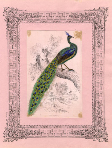 Peacock Pith Painting - Original early 19th-century watercolour painting