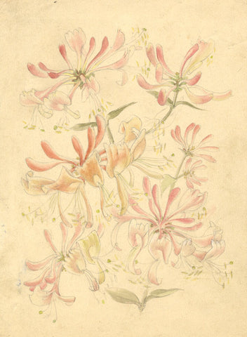 Mildred Eldridge RWS, Honeysuckle Flowers - Original 20th-century watercolour