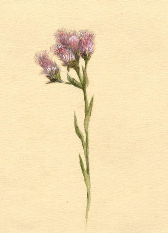 Helen C. Waterhouse, Alpine Pink Thistle Flower - 1882 watercolour painting