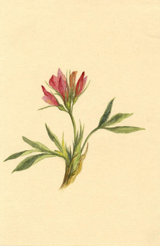 Helen C. Waterhouse, Alpine Clover Flower - Original 1882 watercolour painting