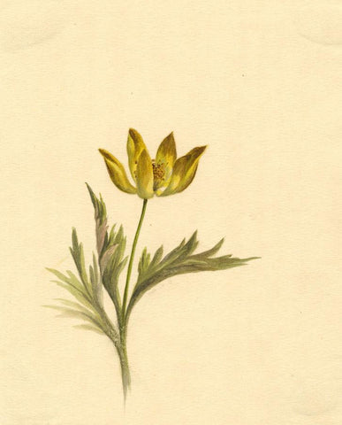 Helen C. Waterhouse, Yellow Anemone Flower - Original 1882 watercolour painting