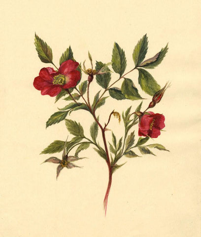 Helen C. Waterhouse, Red Alpine Rose Flower - Original 1882 watercolour painting