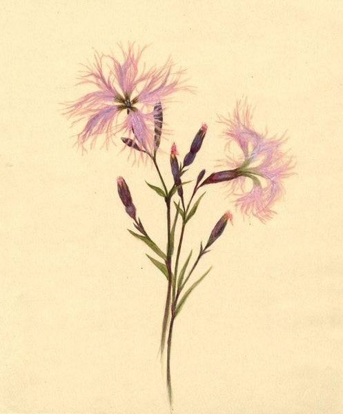Helen C. Waterhouse, Fringed Pink Flowers - Original 1882 watercolour painting