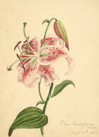 Tiger Lily Flower, Lilium Lancifolium - Original 1886 watercolour painting
