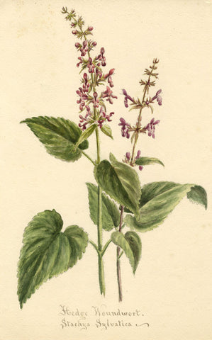 Hedge Woundwort Flower, Stachys Sylvatica - Original 1897 watercolour painting